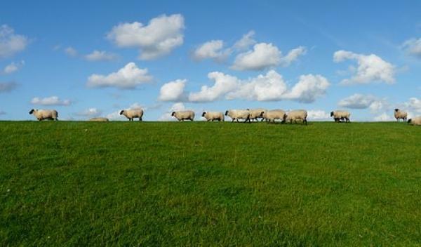 Huus achtern Diek - Blick auf Schafe